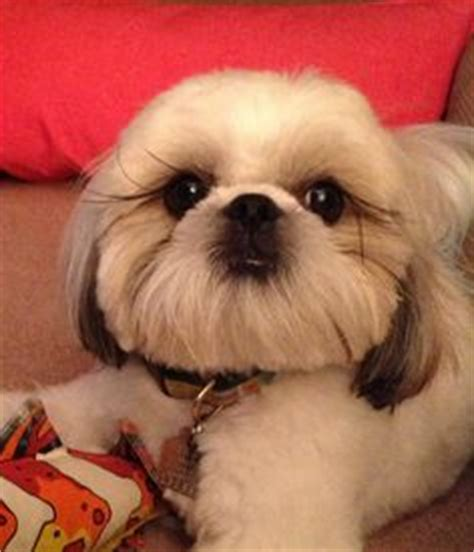 shih tzu eyelashes 1000 images about shih tzu haircuts on shih tzu shih tzu puppy and haircuts