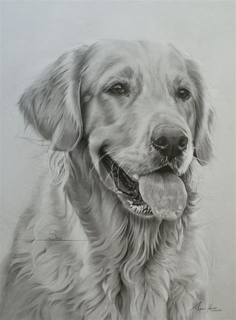 drawings of golden retrievers commission golden retriever by captured in pencil on deviantart