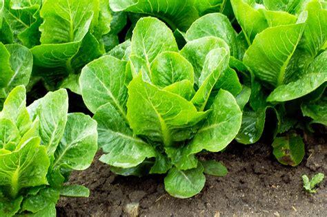 edible backyard plants how to harvest lettuce sunset