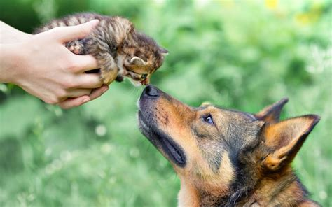 cat friendly dogs tips raising environmentally friendly cats dogs ftr