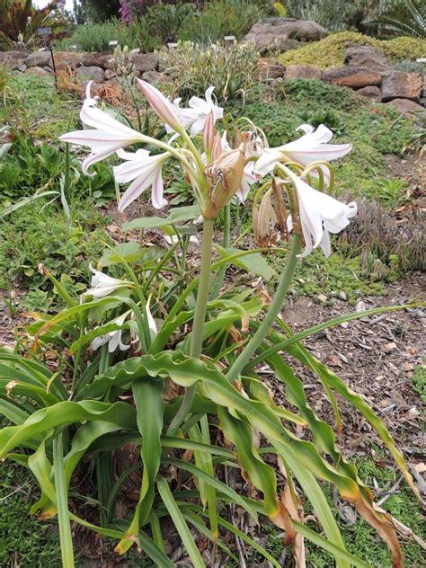 Uc Botanical Gardens Plantfiles Pictures Sabie Crinum Cape Coast River