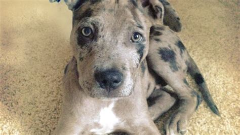 catahoula leopard mix shorgis bullpugs and more pictures of hybrid breeds you ve never seen before