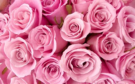 wallpaper hd pink rose special pink roses wallpapers hd wallpapers id 8741
