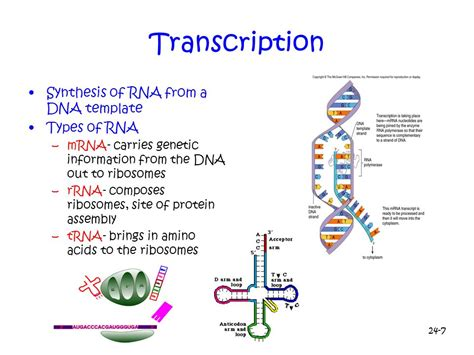 Chapter 13 From Gene To Protein Ppt Video Online Download Rna Sequence From Dna Template