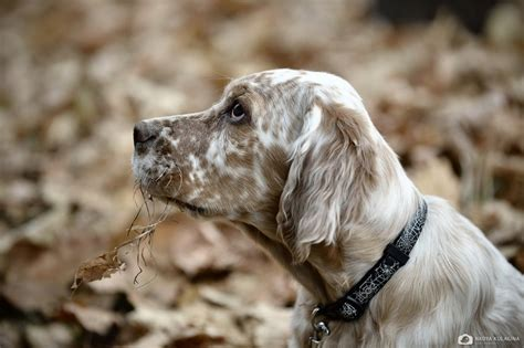 lemon setter dog 203 best english setter images on pinterest english