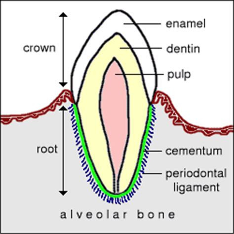 cat teeth diagram the lazy tooth vet s view