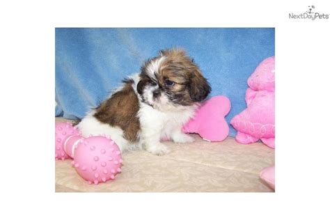 shih tzu puppies for sale in knoxville tn shih tzu puppy for sale near knoxville tennessee 9167587b ea41