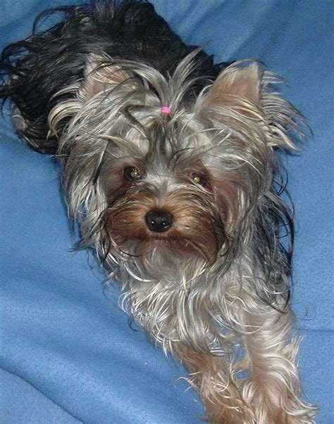 show me a picture of a yorkie yorkie photos