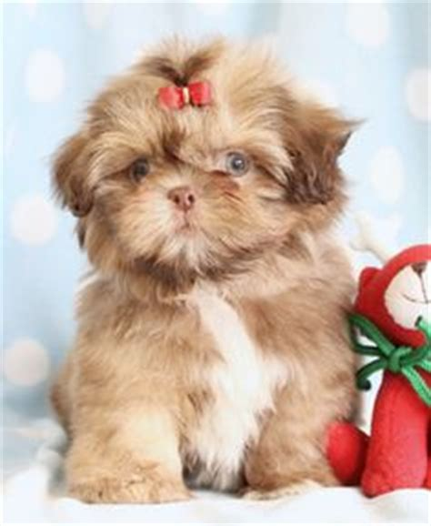 shih tzu puppies for sale in orlando fl 1000 images about animals on shih tzu puppy shih tzu and yorkie