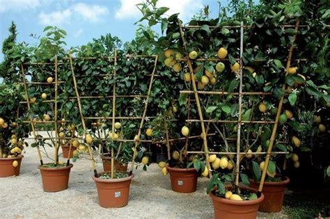 limone potatura vaso potare limoni alberi da frutto come potare i limoni