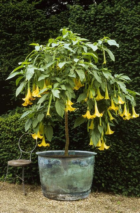 evergreen flowering shrubs for pots 44 best shrubs for containers best container gardening
