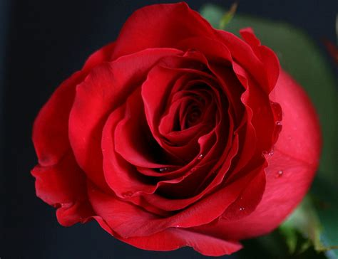 flowers images red roses are the best wallpaper photos 34825639