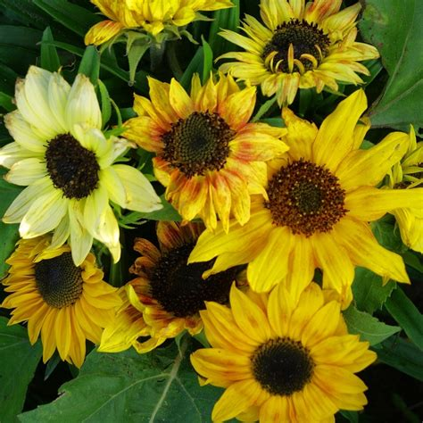 sunflower seeds dwarf quot distino mix quot