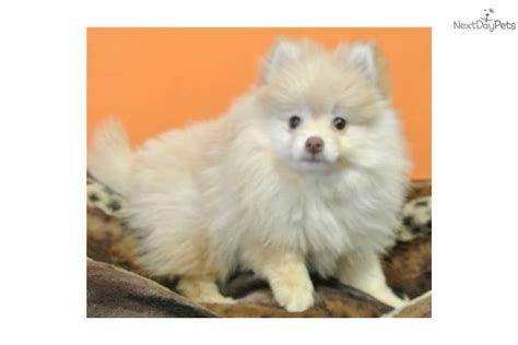 pomeranian puppies for sale jacksonville fl pomeranian puppy for sale near jacksonville florida 1d07ffc9 7181