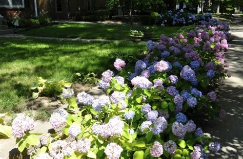 Landscape Pictures With Hydrangeas Hydrangea Beds Landscaping Ideas Patio Ideas