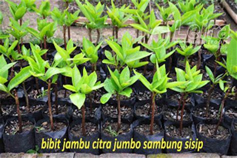 Bibit Okulasi Cempedak Aroma Durian Type A february 2012 leira buah tropis