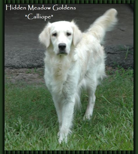 pictures of white golden retrievers meadow white golden retrievers quot calliope quot