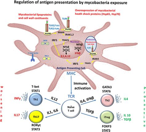 pattern recognition receptors multiple sclerosis frontiers conflicting role of mycobacterium species in