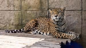What Does Jaguar Eat What Foods Do Jaguars Usually Eat Reference