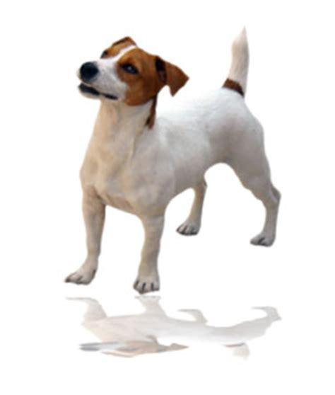 imagenes de perros jack rusell donde comprar un jack russell terrier con pedigree precios