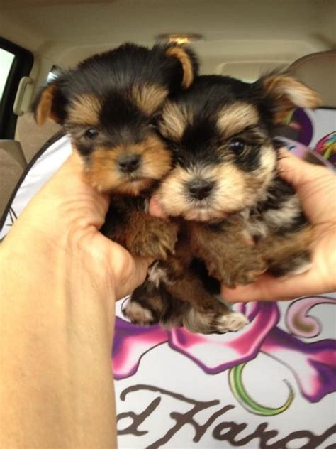 i want puppies 17 best images about pets and their needs on yorkie snowball and pet door