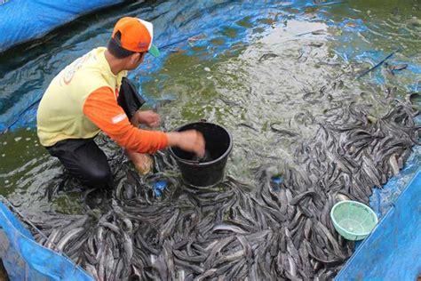 pemasaran ikan lele  jitu