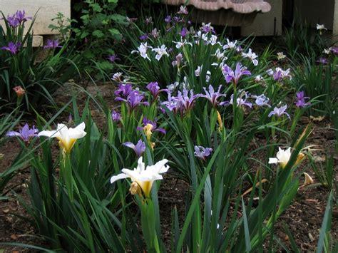iris pacific coast hybrids pacific coast hybrids mixed matilija nursery california native