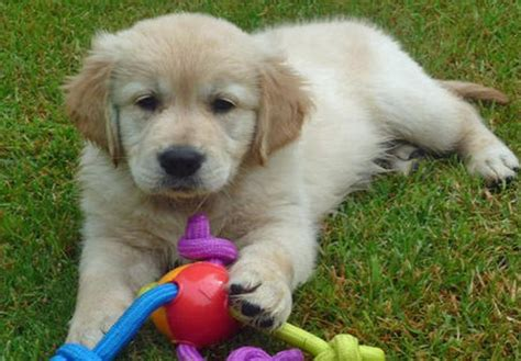 golden retriever calgary golden retriever puppies for sale for sale in calgary alberta breeds picture