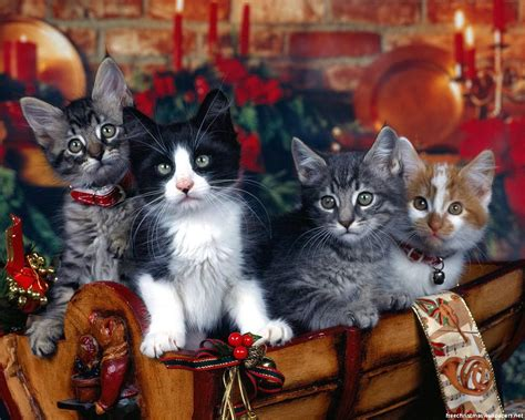 wallpaper cat christmas cat christmas gift wallpapers beautiful desktop