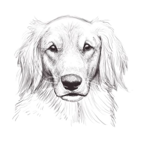 golden retriever sketch sketch golden retriever s pins