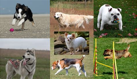 what breed are you quiz quiz can you identify the breed simply by its