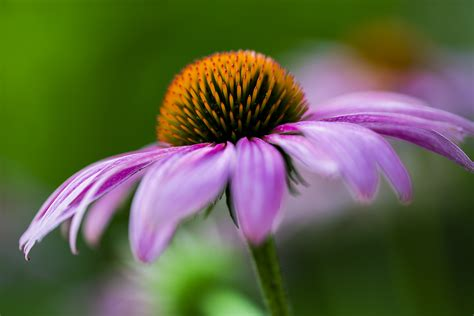 flower photography coneflower madison indiana photography