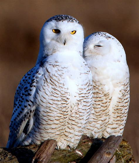 owl lovers snowy owl s invasion of the south delights birdwatchers