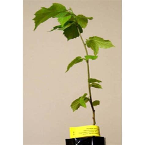 Pflanze Kaufen 216 by Kaufen Mykorrhiza Hasel Schwarze Truffel Hasel Baum
