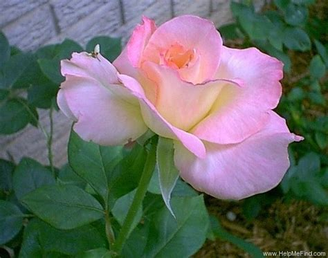 diana princess of wales rose diana princess of wales roses pinterest