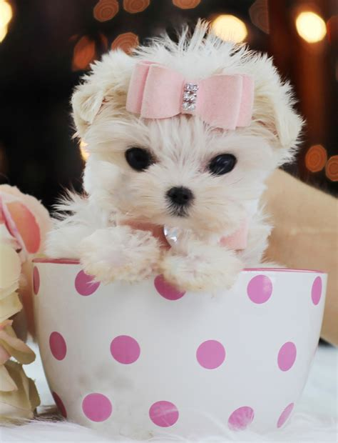 cutest teacup puppies teacup puppies store luxury puppy boutique supplies and accessories