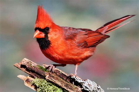 cardinal cliparts co