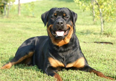 light brown rottweiler rottweiler breed 187 information pictures more