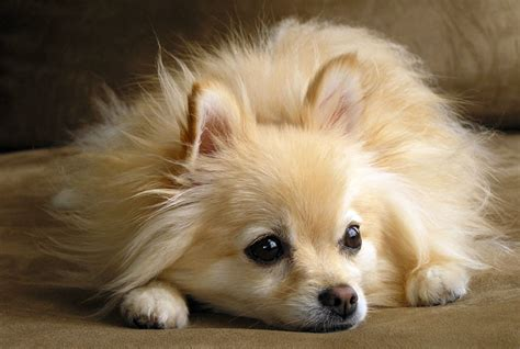 miniature dogs miniature dogs breeds