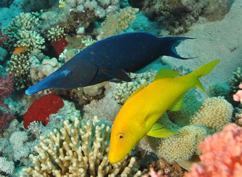 green bird wrasse gomphosus wikipedia