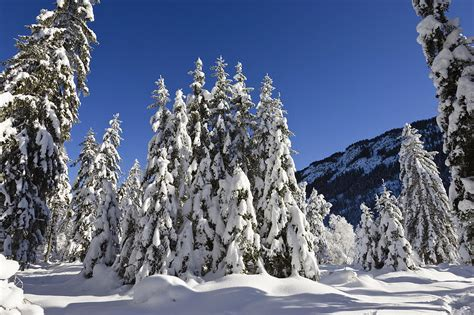Home Decor Germany by Coniferous Forest In Winter Photograph By Konrad Wothe