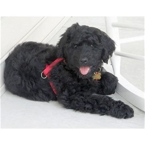 rottweiler mixed with poodle rottle rottweiler poodle mix info temperament puppies pictures
