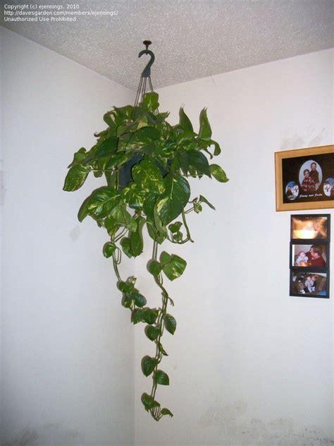 Neon Bedroom Ideas plantfiles pictures devil s ivy golden pothos centipede