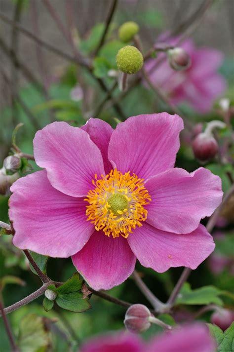 anemone september charm hupehensis plants