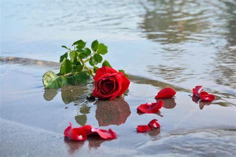 imagenes rosas en el mar rosa roja en el mar foto de stock 169 umutsepetim 73012351