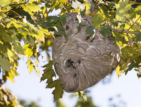 Bees That Make Paper Nests - the biomimicry manual what can paper wasps teach us about