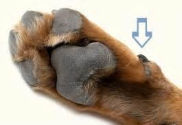dew claw vestigial revealing paws