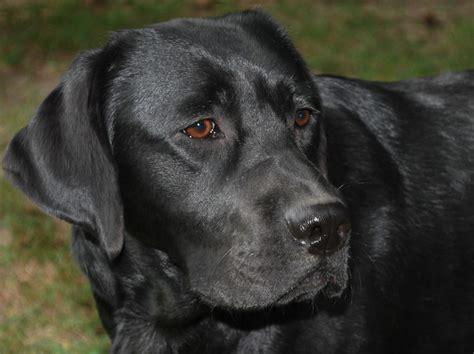 lab puppies labrador retriever razas perros mascotas