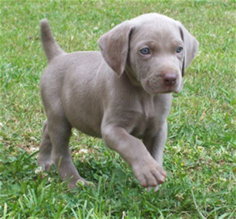 weimeraner puppy weimaraner puppies puppykennel puppy house