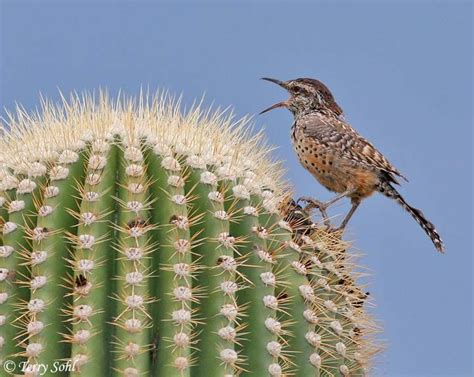 the cactus wren is arizona s official state bird it grows